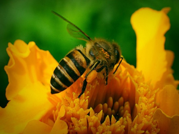 Nằm mơ thấy con ong có ý nghĩa gì