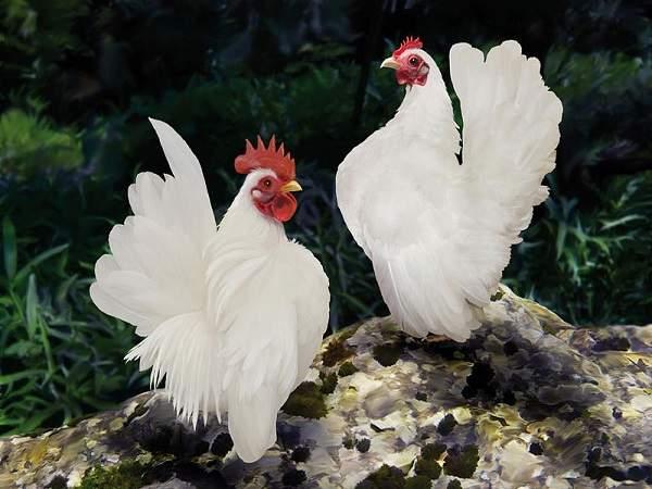 Mơ thấy gà chết có ý nghĩa gì và đánh con số gì