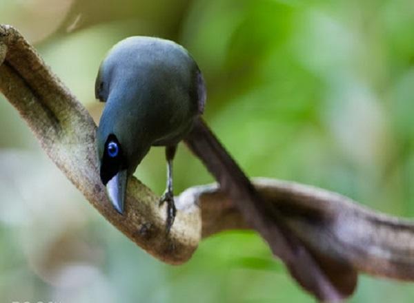 chim khách kêu báo điềm gì theo tâm linh