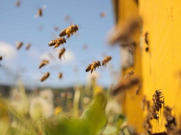 Ong bay vào nhà điềm gì theo tâm linh