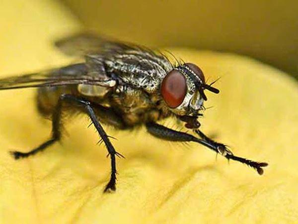Mơ thấy ruồi là điềm báo hung hay cát - Ruồi là số mấy?