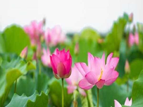 Tổng hợp ý nghĩa giấc mơ thấy hoa sen