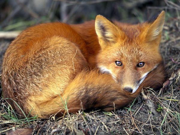 Nằm mơ thấy con cáo có ý nghĩa gì trong cuộc sống