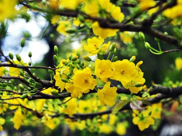 Mơ thấy hoa mai điềm báo hung hay cát?