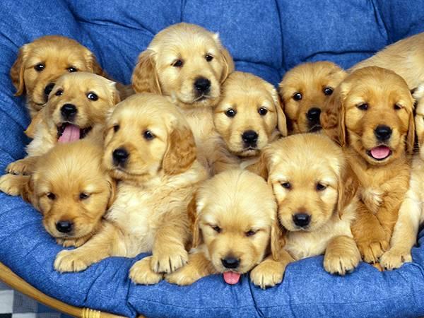 Nằm mơ thấy đàn chó chơi xổ số con gì dễ trúng